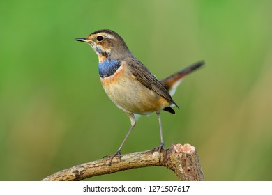 Bluethroat (Luscinia svecica), shine bird with bright blue and orange feathers on its chest perching on wood stick in tail wagging stances