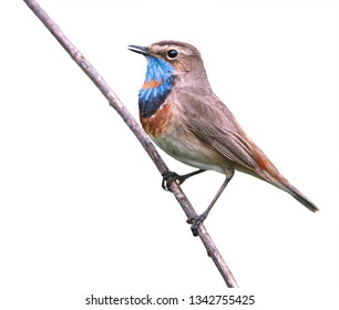 The Bluethroat (Luscinia svecica) is a small passerine bird. Photo was taken in Ukraine