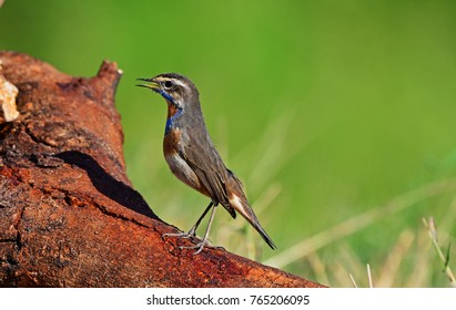 The bluethroat (Luscinia svecica) is a small passerine bird that was formerly classed as a member of the thrush family Turdidae, but is now more generally considered to be an Old World flycatcher.