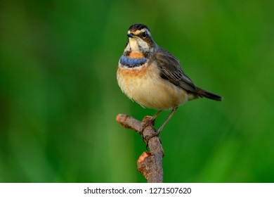 Bluethroat (Luscinia svecica), very fat beautiful bright blue and orange feathers on chest bird in tail wagging stance while perching on twig in nature