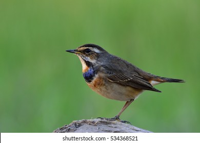 The bluethroat (Luscinia svecica) winter visitor bird to Thailand with blue color on its throat while perching on rock showing side feathers over fine green blur background in late evening lighting