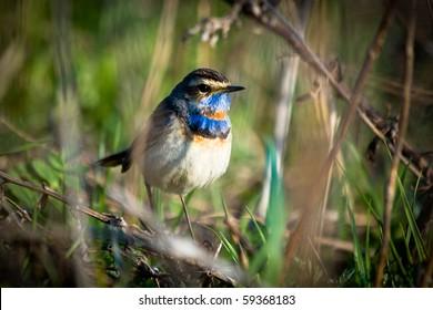 Bluethroat in a natural habitat. Wildlife Photography.