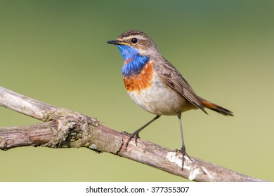 The Bluethroat on the Perch