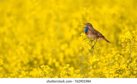 bluethroat singing in a flowering rape field