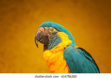 The blue-throated macaw (Ara glaucogularis; previously Ara caninde), also known as the Caninde macaw or Wagler's macaw. Foreground.