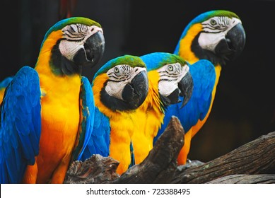 The blue-throated macaw, Colorful macaws