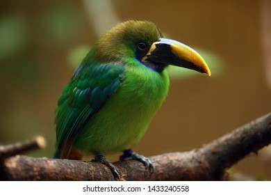 The blue-throated toucanet (Aulacorhynchus caeruleogularis) sitting on the branch with brown background.