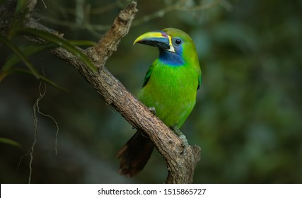 Blue-throated Toucanet, green toucan in the nature habitat