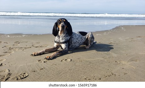 Bluetick Coonhound at dog beach in Morro Bay, California, on a beautiful sunny day.