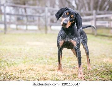 A Bluetick Coonhound dog outdoors listening with a head tilt
