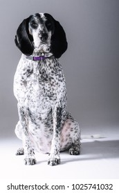 A Bluetick Coonhound sitting nicely for a studio portrait.
