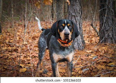 Bluetick coonhound standing by the woods.