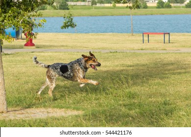 Bluetick hound and tricolored treeing walker coonhound mix running through a dog park, with an expression of joy and excitement and front paws high in the air with ears blown back