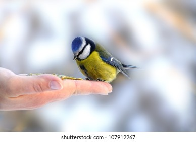 Bluetit perched on a girls hand in a wintery scene.