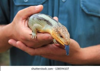 Blue-tongued lizard in human hands, Tasmania, Australia