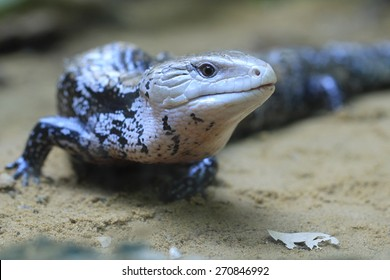Blue-tongued skink