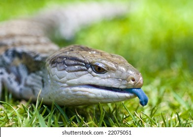 Blue-tongued Skink crawling on grass aka Blue-tongued Lizard