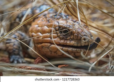 Blue-tongued skink endemic lizzard from Australia