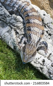 Blue-tongued skink or Blue-tongued Lizard