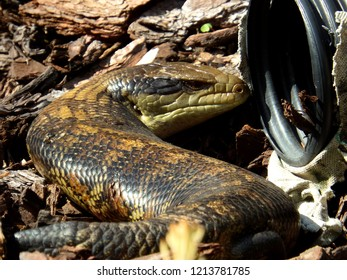 Blue-tongued skink lizard near a water pipe