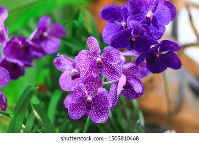 Blue-violet orchids The petals are large and have spots on the petals. The Thai name is Fah Mui. Scientific name Vanda coerulea Griff, former Lindle in the orchid family, is used as an illustration.