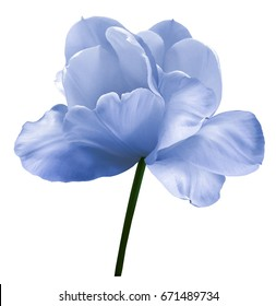 Blue-white flower tulip on a white isolated background with clipping path. Close-up.  no shadows. Shot of White Colored. Nature.