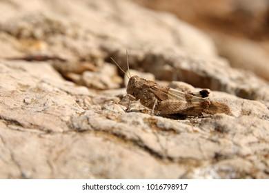blue-winged grasshopper, Oedipoda caerulescens, Ödlandschrecke