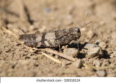 blue-winged grasshopper, Oedipoda caerulescens