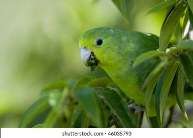 A Blue-winged Parrotlet blending in with the green leaves, feeding on small fruits - Iguazu, Argentina.
