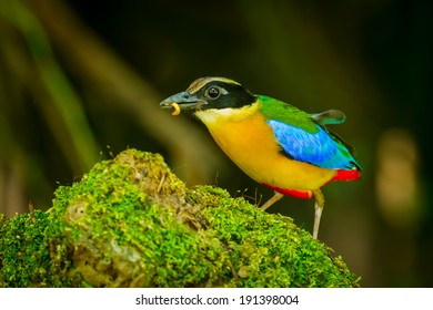 Blue-winged Pitta (Pitta moluccensis) with worm for her food