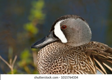 A Blue-winged Teal.