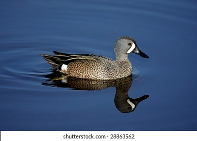 Blue-winged Teal (anas discors) swimming in the Florida Everglades