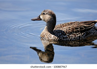 Blue-winged teal duck, hen, with reflection in blue lake water
