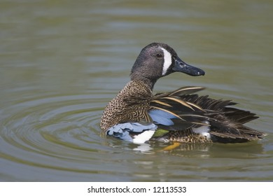 Blue-winged Teal preening his feathers on the pond