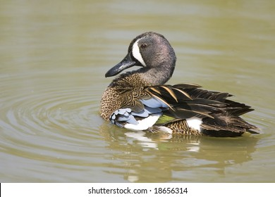 Blue-winged Teal swimming along and preening his feathers