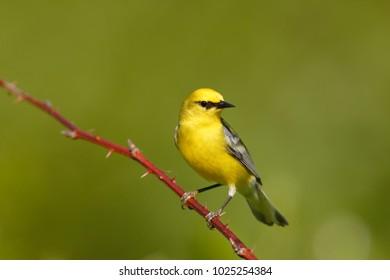 A Blue-winged Warbler