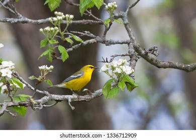 A blue-winged warbler glows golden yellow against the white blooming blossoms of an apple tree.
