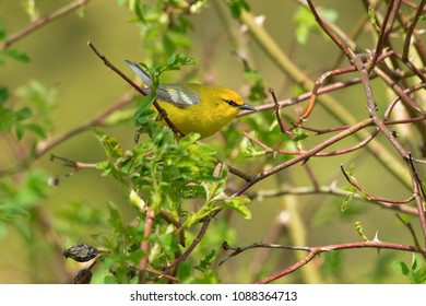 Blue-winged Warbler perched on a branch looking for its next meal. Rosetta McClain Gardens, Toronto, Ontario, Canada.