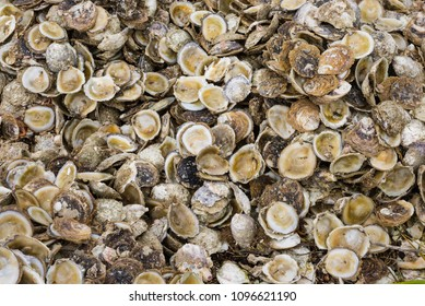 Bluff Oyster Shells
