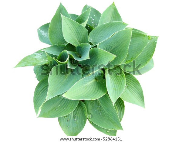 Bluish Green Hosta Blue Hosta Stock Photo Edit Now 52864151