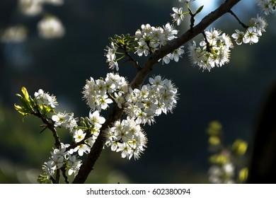 Blum blossom in Ha Giang, Vietnam