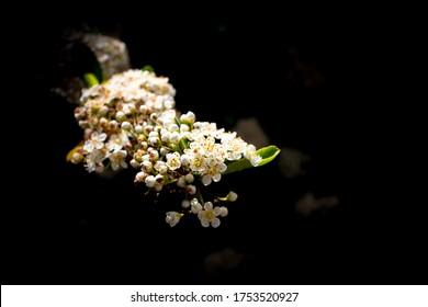 Wei?e Blumen bl?hen - White Flowers in Spring