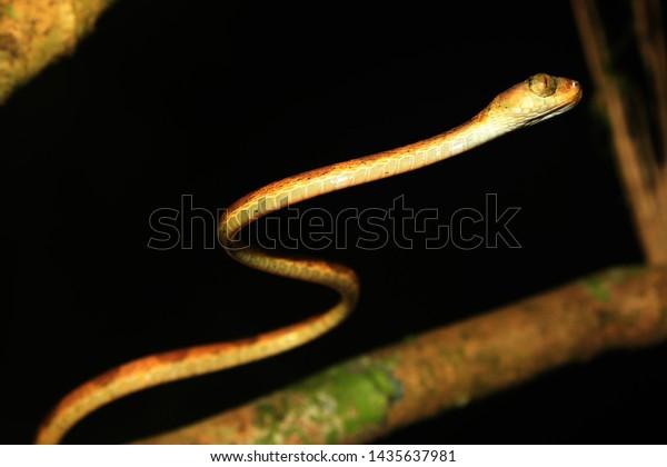A blunt headed snake, imantodes lentiferus, a side view