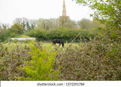Bluntisham, Cambridgeshire, UK - Circa April 2019: Shallow focus of a shire horse seen in lush pasture, seen from a nearby hedgerow. A distant church spire is seen, at the edge of the english village.