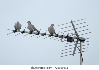BLUNTISHAM, CAMBRIDGESHIRE, UK - CIRCA OCTOBER 2017: Trio of doves seen resting on a TV antenna which is located on the roof of a house, seen in fairly windy conditions.