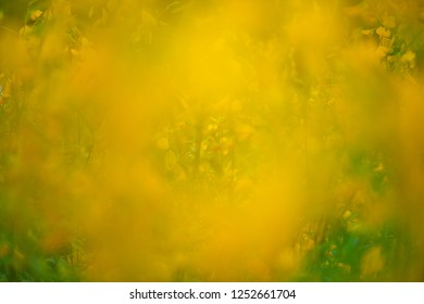 Blur and abstrct of Crotalaria Juncea or sunn hemp in Phutthamonthon,Nakhorn prathom