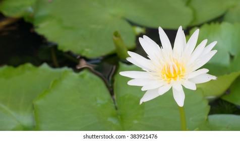 Blur backgroud lotus in tub.