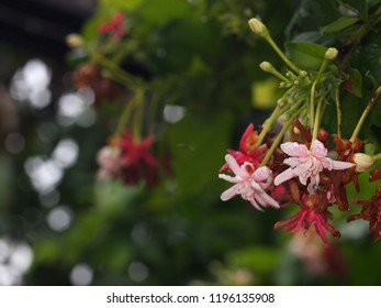 blur background selective soft focus on Chinese honey Suckle flower, Rangoon creeper,  red pastel colour tiny tropical fragrant flowers under natural sunlight with green leaves and garden background