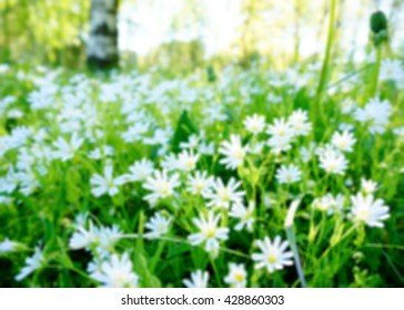 Blur background of white flowers with sunlight in evening. Stellaria graminea flower in forest ('common starwort', 'grass-leaved stitchwort' , 'lesser stitchwort' and 'grass-like starwort')