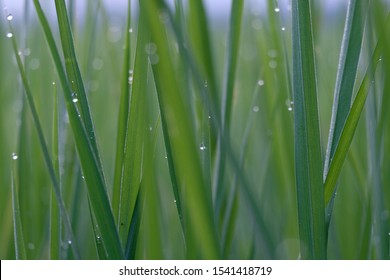 blur dew drop on the green ruce plant background. - Shutterstock ID 1541418719